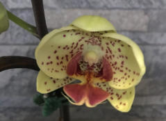Phalaneopsis Mini